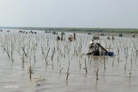 Penanaman Mangrove BPDASHL Solo Ikut Mengembalikan Ekosistem Laut