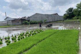 Petani di Tuban, Gondangrejo, membajak sawah mereka pada musim tanam III atau musim tanam musim hujan Rabu (2/12/2020). (Solopos.com/Candra Mantovani)
