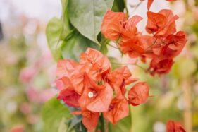 Dianggap Bikin Susah Dapat Jodoh, Ini Mitos Seputar Bunga Bougenville