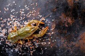 KPK Masih Lacak Tokoh di Balik Praktik Lancung Ekspor Benur Lobster