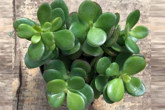 Crassula ovata. (Gardenshop.co.za)