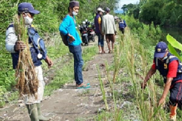 Tanggul Rawan Jebol, 3.000 Bibit Vetiver Ditanam di Bantaran Sungai Slegrengan Gantiwarno