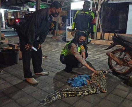 Buaya air tawar yang ditangkap nelayan dan warga di Sidoarjo. (detik.com-istimewa)