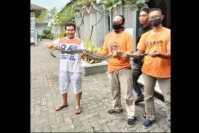 Exalos Evakuasi 2 Ular Piton, Salah Satunya Di Kantor Samsat Solo