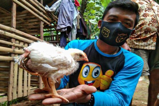 Ahmad Syafei menunjukkan ayam berkaki tiga miliknya di Dusun Karang Asem, Kalurahan Sidomulyo, Kapanewon Pengasih, Kulonprogo, DIY, Selasa (9/2/2021). (Harian Jogja-Jalu Rahman Dewantara)