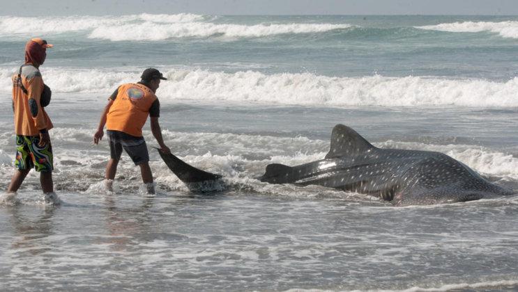Hewan Laut Terdampar, Pembawa Pesan Khusus dari Laut