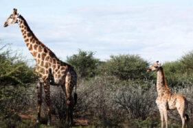 Langka! Dua Jerapah Kerdil Ditemukan di Uganda