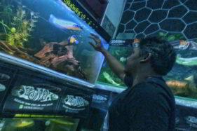 Wiiihhh... Ternyata Ikan Gabus Laku Dijual hingga Jutaan Rupiah Loh