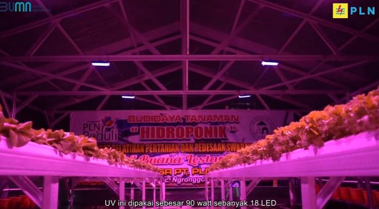 Genjot Cuan Tanaman Hidroponik, PLN Peduli Hadir dengan Inovasi Sinar UV