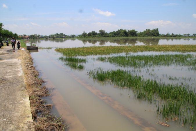 Duh, Seribuan Hektare Sawah di Klaten Terendam Banjir