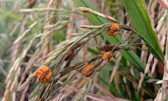 Penampakan padi di sawah Madiun yang terserang hama jamur oncom, Rabu (3/3/2021). (Abdul Jalil/Madiunpos.com)