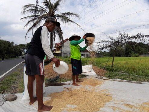 Petani di Bambanglipuro memisahkah kotoran yang terbawa dark proses panen dengan gabah hasil panen.(Harian Jogja/Catur Dwi Janati)