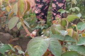 Hujan Abu Merapi Melanda Kecamatan Musuk & Tamansari Boyolali