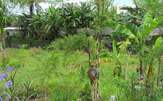 Seekor kera berada di kompleks Taman Jlengut, Karangduren, Kebonarum, Sabtu (27/2/2021). Puluhan kera liar itu turun gunung akibat erupsi Gunung Merapi 2006. Kera-kera itu enggan kembali ke habitat asalnya dan memilih hidup di Sungai Jlengut. (Solopos/Ponco Suseno)