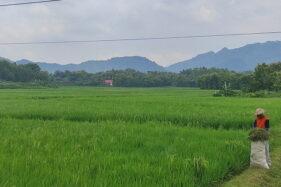Waduuuh! 10 Hektare Lahan Padi di Wonogiri Diserang Wereng