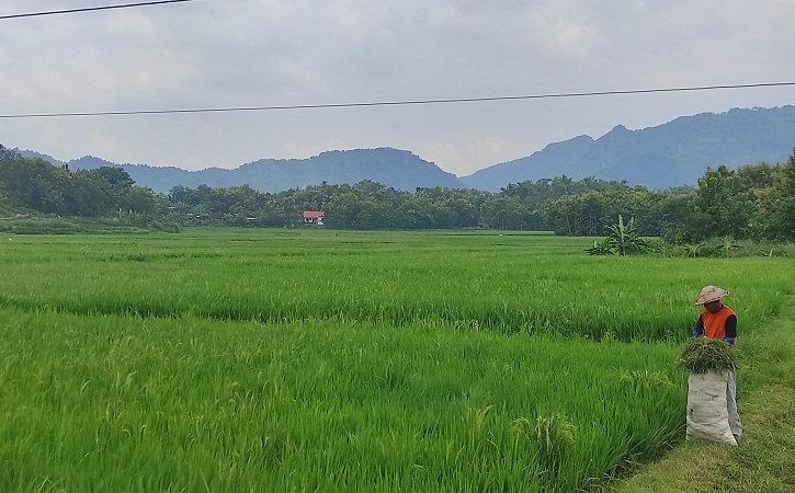 Warga tengah mencari rumput di lahan persawahan Desa Singodutan, Kecamatan Selogiri, Wonogiri, Rabu (3/3/202I). (Solopos/M. Aris Munandar)