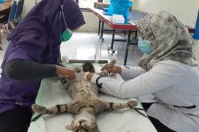 Suka Kawin, Puluhan Kucing Jantan di Madiun Dikebiri