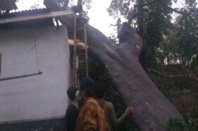 Pohon Raksasa Tumbang Timpa 3 Rumah Di Ceper Klaten, 1 Keluarga Mengungsi
