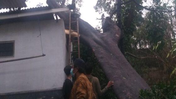 Pohon berukuran jumbo tumbang akibat puting beliung di Batur Timur, Tegalrejo, Ceper, Klaten, Selasa (2/3/2021). (Solopos/Ponco Suseno)