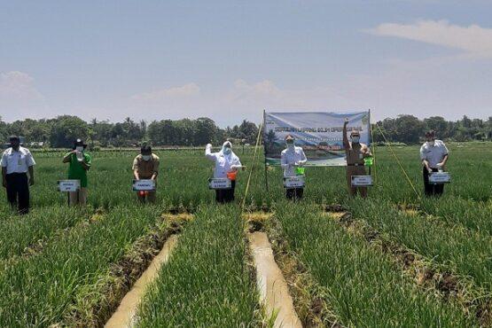 Kepala BMKG, Dwikorita Karnawati bersama sejumlah pejabat dan petani menyebarkan pupuk di lahan bawang merah tempat praktik Sekolah Lapang Iklim. (Harian Jogja/Catur Dwi Janati)