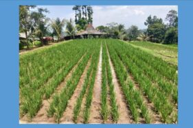 Pola Kemitraan Petani dan Perusahaan Mengusik Tengkulak