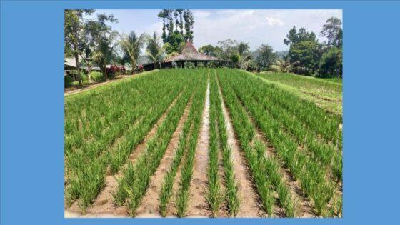 Tanaman padi yang dibudidayakan secara organik dalam pola kemitraan petani dan PT Pengayom Tani Sejagad di Kabupaten Wonogiri. (Istimewa/PT Pengayom Tani Sejagad)