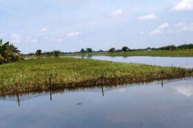 275.315 Hektare Sawah Terdampak Banjir di Kudus Masih Tunggu Klaim Asuransi