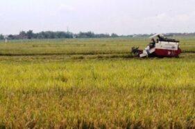 Produksi Gabah 2020 di Kabupaten Kudus Belum Mampu Penuhi Target