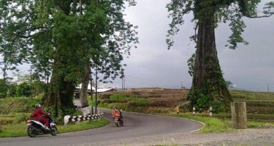 Sepasang pohon Randu mengapit jalan raya Pemalang-Purbalinga (detikcom)