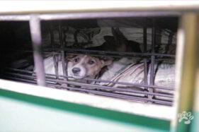 DMFI: Wong Solo, Stop Makan Daging Anjing!