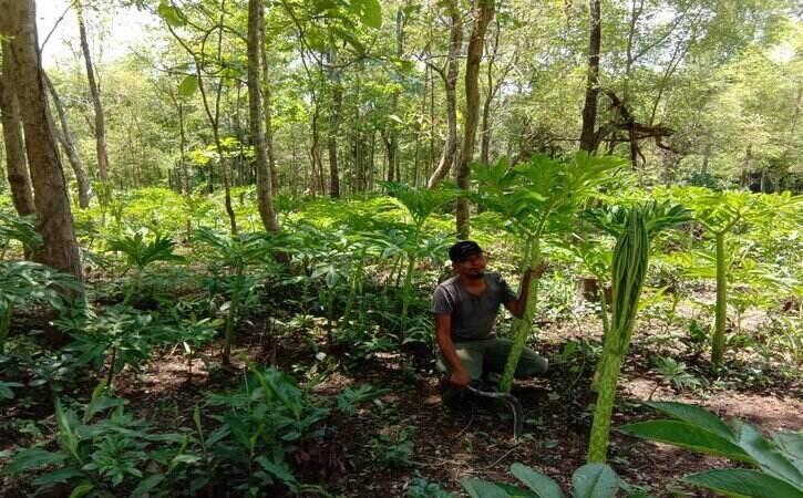 Berkat Porang, Warga Desa Pajaran Madiun Kini Jadi Jutawan