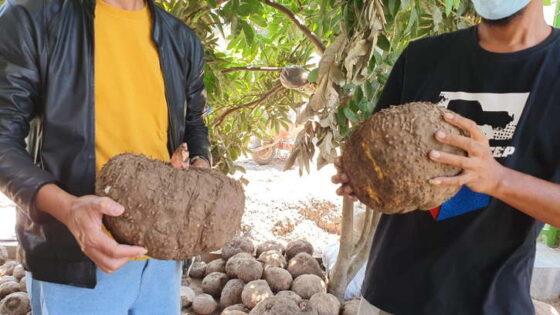 Umbi porang yang dipanen dari lahan di Desa Pajaran, Kecamatan Saradan, Kabupaten Madiun. (Istimewa/Wisdianto)