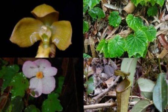 Spesies baru tumbuhan unik dari Indonesia tersebut telah diterbitkan pada jurnal ilmiah nasional maupun internasional di sepanjang 2020. (Bisnis-LIPI)