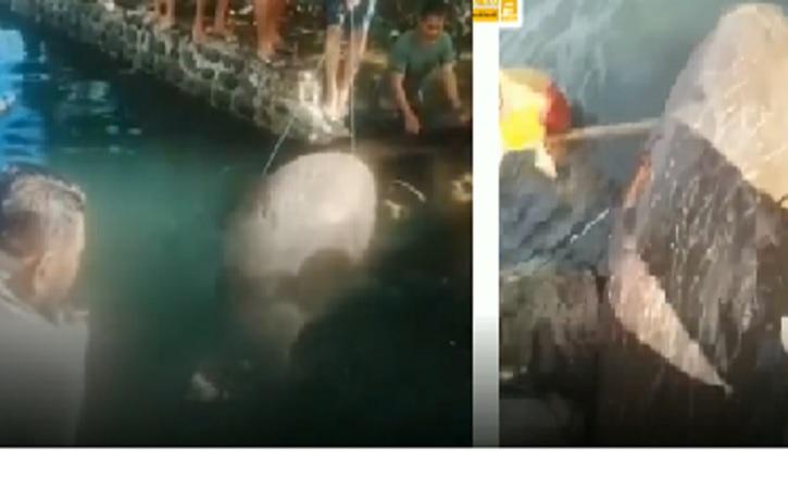 Penemuan Ikan Duyung di Pantai Gegerkan Warga Lumpue Pare-Pare