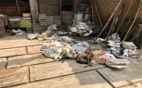 Dua pria ditangkap Satreskrim Polres Kulonprogo saat kedapatan membawa puluhan hewan anjing yang tidak dilengkapi dengan surat keterangan kesehatan hewan pada Kamis (6/5/2021). (Istimewa)