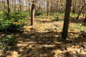 Mejajaran, Legenda Gaib Penunggu Hutan Jati Banyumas