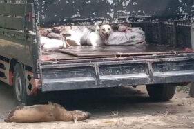 78 Ekor Anjing yang Gagal Diselundupkan Warga Sragen ke Solo Awalnya Mau Dibuat Sengsu