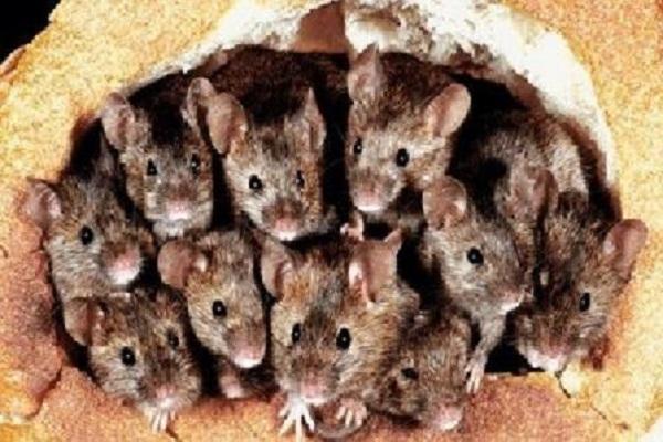 Tikus Duduki Australia, Napi Diungsikan