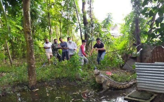 Dipimpin Kapolsek Sambungmacan, Evakuasi Buaya Muara 2,8 Meter di Sragen Butuh Waktu 1,5 Jam