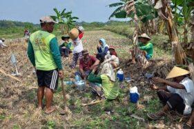 Lagi, 670 Ekor Hama Tikus Mati Dibantai Petani Miri Sragen