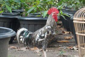 Mengenal Gama Ayam Buatan UGM: Gurih Mirip Ayam Kampung, Bobot 1,5 Kg dalam 7 Pekan