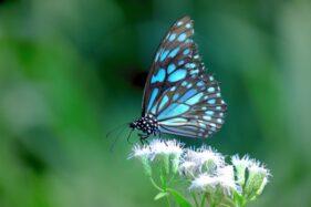 Ilustrasi kupu-kupu (Freepik)