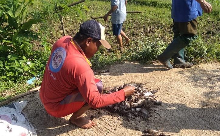 Tabuh Genderang Perang, Petani Miri Sragen Bisa Basmi 26.516 Ekor Tikus