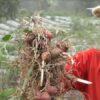 Hemat Modal Lur, Petani Selo Boyolali Tanam Bawang Merah dengan Biji