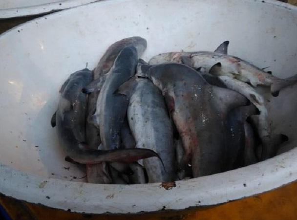 Ilustrasi baby ikan hiu. (Detik.com)