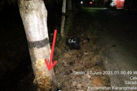 Misteri Pohon Jati Sragen yang ditabrak 2 Warga Hingga Meninggal Dunia, Ini Penampakannya