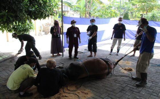 Petugas melakukan persiapan penyembelihan hewan kurban di halaman Masjid Agung Al Aqsho Klaten, Rabu (21/7/2021). (Solopos/Taufiq Sidik Prkoso)
