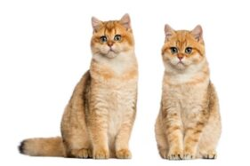 Kucing Sandiaga Uno Lahiran, Salah Satunya Dinamai Magelang
