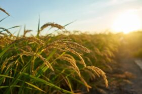 Jos! Sidowayah Klaten Kembangkan Millenial Smartfarming Biar Petani Nggak Punah