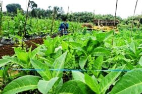 Petani Merbabu Tumpangsari Tembakau dan Sayuran